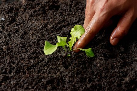 Close up Farmer hand planting sprout (Green oak lettuce) in fertile soil.