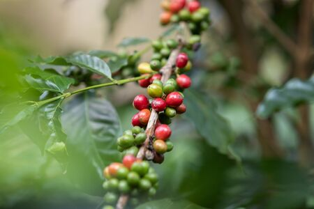 Coffee bean, Arabicas Coffee Tree