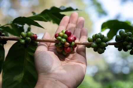Hand holding ripe coffee bean, Worker harvest Arabica Coffee Bean from coffee Tree