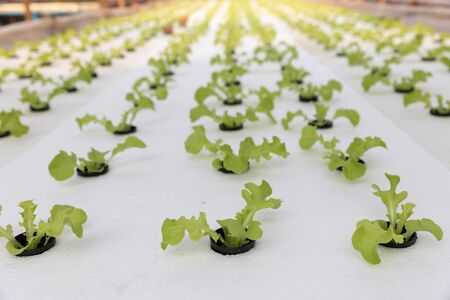 Hydroponics farm, Young lettuce with organic hydroponic vegetable garden at greenhouse.