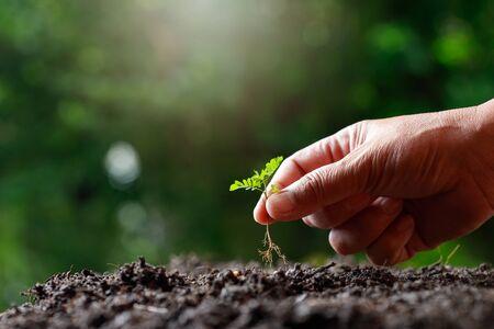 Bauernhand, die Sprössling (Tamarindenbaum) in fruchtbarem Boden pflanzt. Standard-Bild