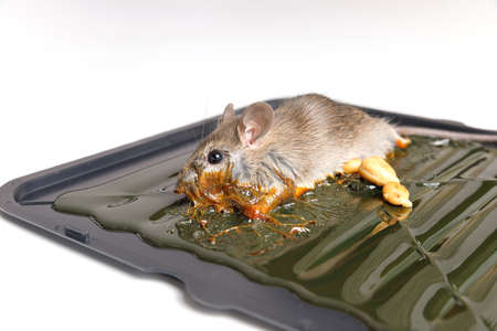 Mouse captured on glue mousetrap board.