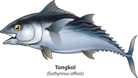 Vector illustration, Tongkol or swordfish one type of tuna fish with a smaller size
