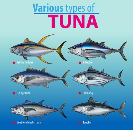Various type of tuna fish, information graphic illustration.