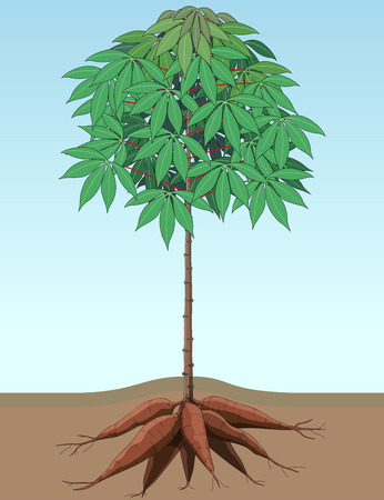 Vector illustration, Cassava plants thrive with large bulbs. Vector Illustration