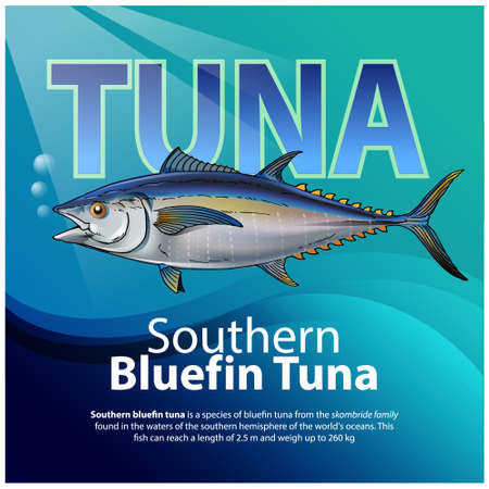 Vector illustration, infographic Southern bluefin tuna is a species of bluefin tuna from the scombridae family. Illustration