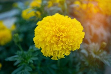 Marigold close up view
