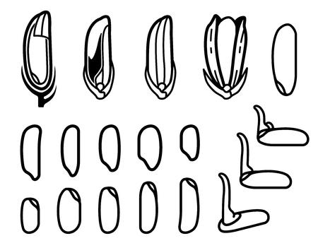 Evolution de la germination du riz et de la forme de la graine. Vecteurs