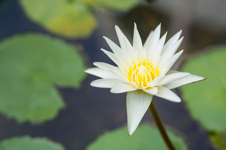 intolerant: Lotus flowers enjoy warm sunlight and are intolerant to cold weather. This is why the Lotus is not seen blossoming in the winter Stock Photo