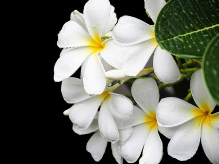 plumeria on a white background: White plumeria isolated on black background