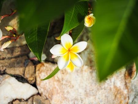 緑の葉の間で白いプルメリアの花