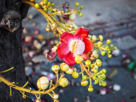 タイの寺院でキャノン ボール ツリー上のサラの花