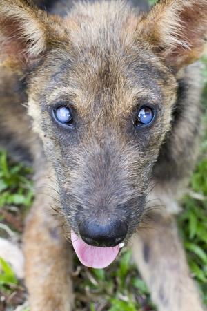 cataract: Cataract Dog Stock Photo