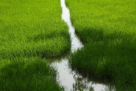 Green rice field in asian country Stock Photo