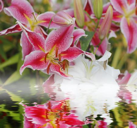 reflect: Lily pink flower with water reflect