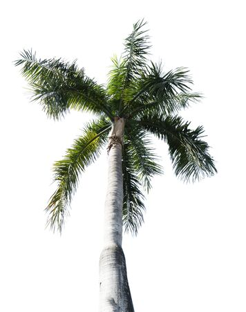coconut trees on a white background.