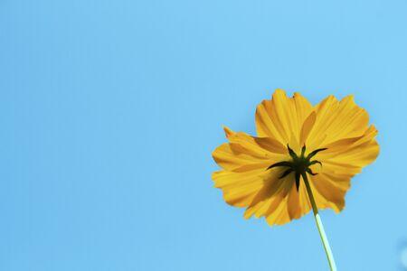 Yellow cosmos flower blooming whit blue sky Zdjęcie Seryjne
