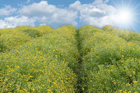 chrysanthemum field on blue sky. flare sunlight.
