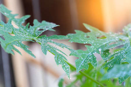 papaya leaves in morning after the rain.