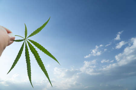 Marijuana leaf. A story of freedom.