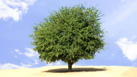 Tamarind trees in a wide field Stock Photo
