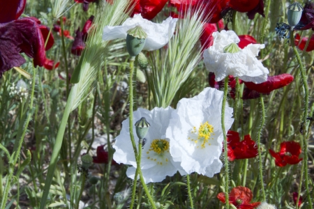 White Poppies photo