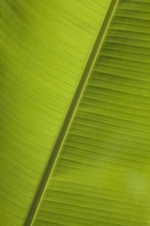 banana leaf close-up Stock Photo