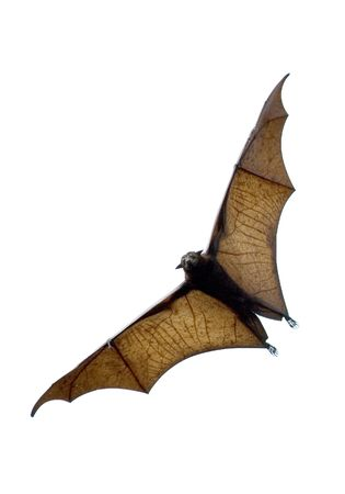 flying fox - huge bat photo