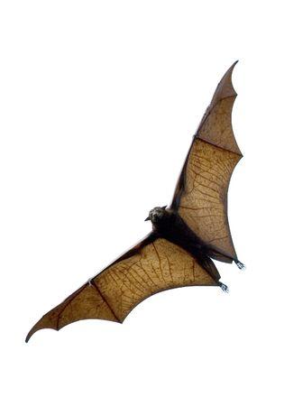murcielago: zorro del vuelo - palo enorme