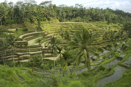 rice terrace, bali Stock Photo - 318151