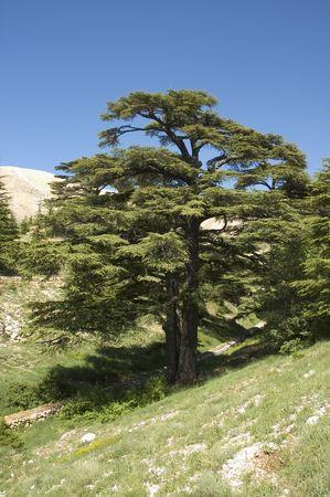 el cedro: cedro del L�bano