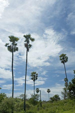 palms against blue sky photo