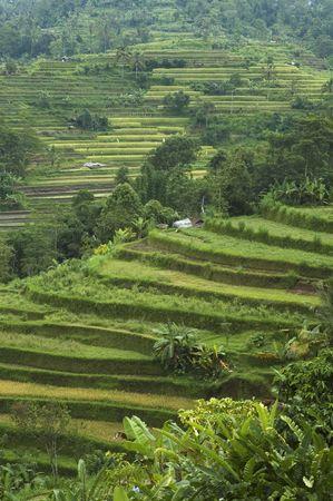gradas: terrazas de arroz, Bali