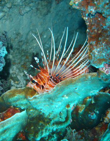 dragonfish: lionfish Stock Photo