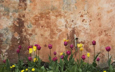 grunge wall with tulips photo
