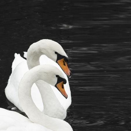 two swans Stock Photo - 537276