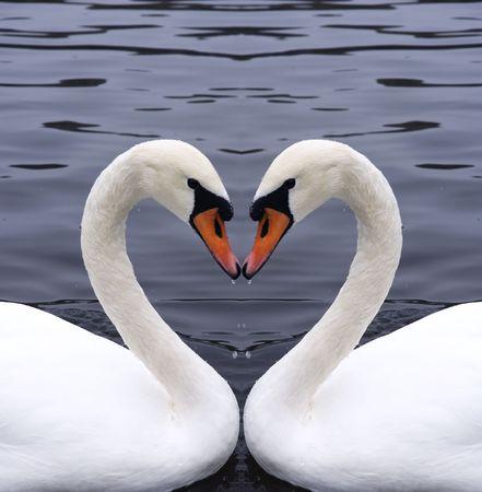 Cisnes coraz�n  Foto de archivo - 555449