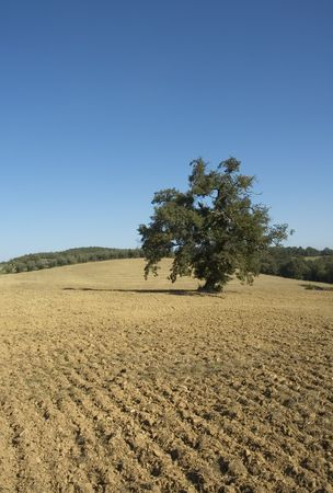 lanscape: olive tree in a field - typical tuscan lanscape