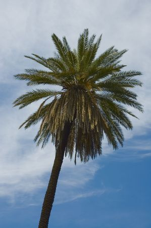 palmtree over blue skies Stock Photo - 590807