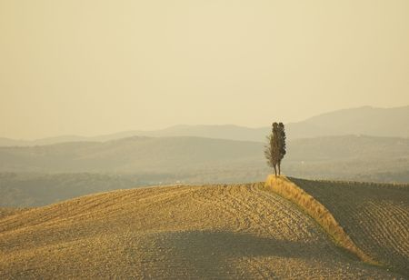 cypress tree: lonely cypress tree in hill - typical tuscan landscape