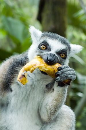 eating banana: lemur eating banana Stock Photo