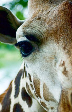 Giraffe head close-up photo