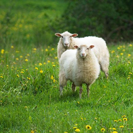 sheep in dandelion field Stock Photo - 980010
