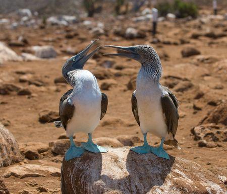 galapagos: blue-footed boobies, galapagos islands, ecuador