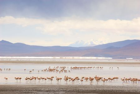 flamingos, standing in the lake, bolivia photo
