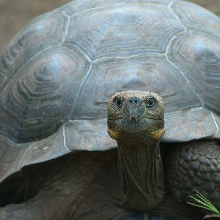 ancient turtles: giant turtle, galapagos islands, ecuador
