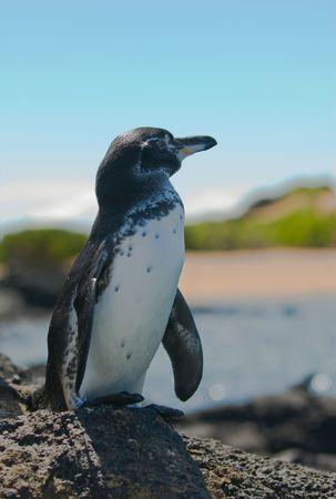 galapagos: galapagos penguin, galapagos islands, ecuador  Stock Photo