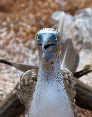 booby: blue-footed booby, galapagos islands, ecuador