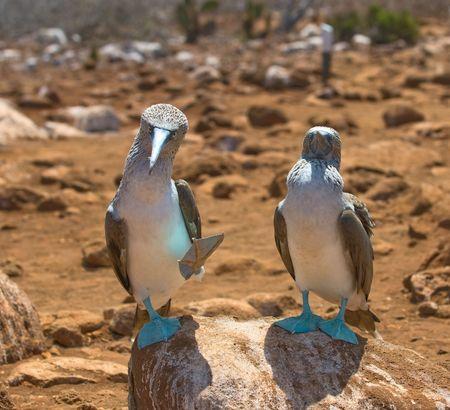 galapagos: blue-footed boobies, galapagos islands, ecuador  Stock Photo