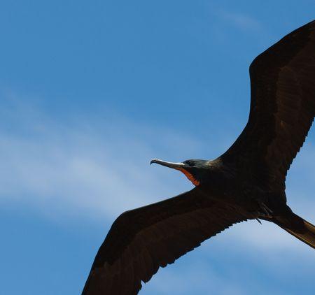 frigate: frigate, flying in blue sky
